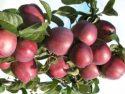 Яблоки сорта Либерти