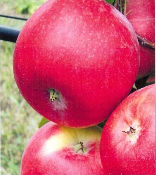 Яблоки сорта Амулет