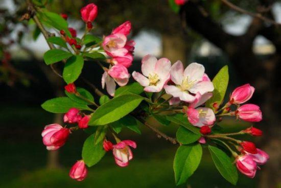 Цветущая яблоня Слава Победителям