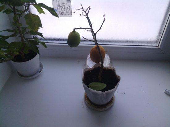 Растение сбрасывает листья