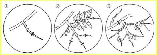 Схема обрезки киви