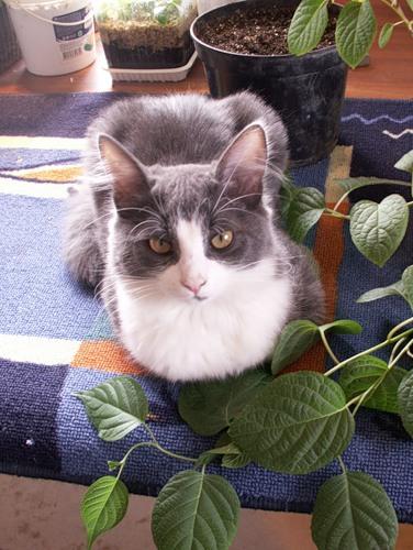 Кошка у лианы киви