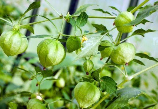 Зелёные плоды физалиса