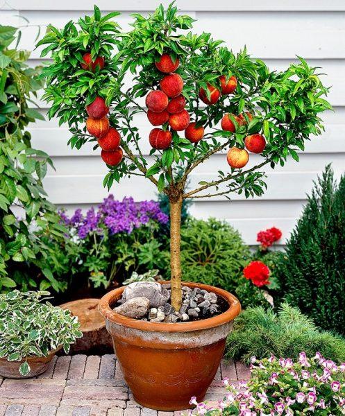 Персиковое дерево в горшке