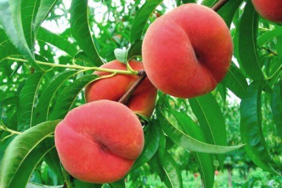 Персики, выращенные самостоятельно