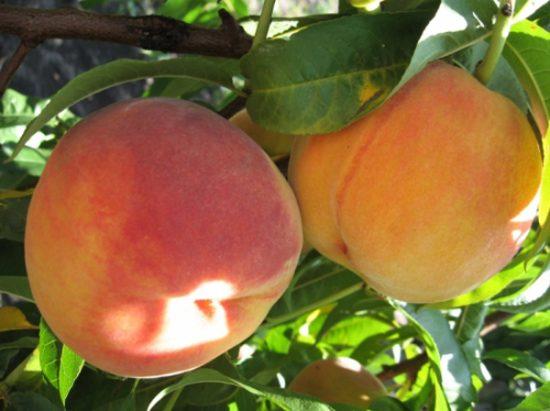 Персик сорта Редхейвен