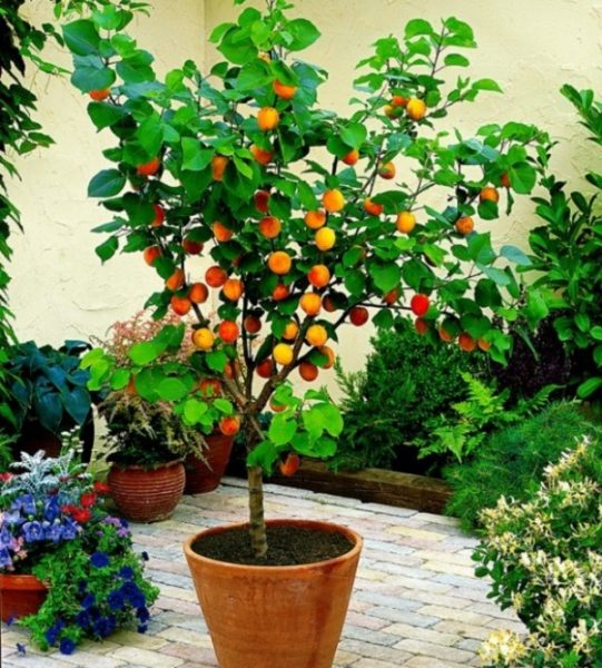 Персиковое дерево летом на улице