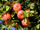 весенняя прививка яблони