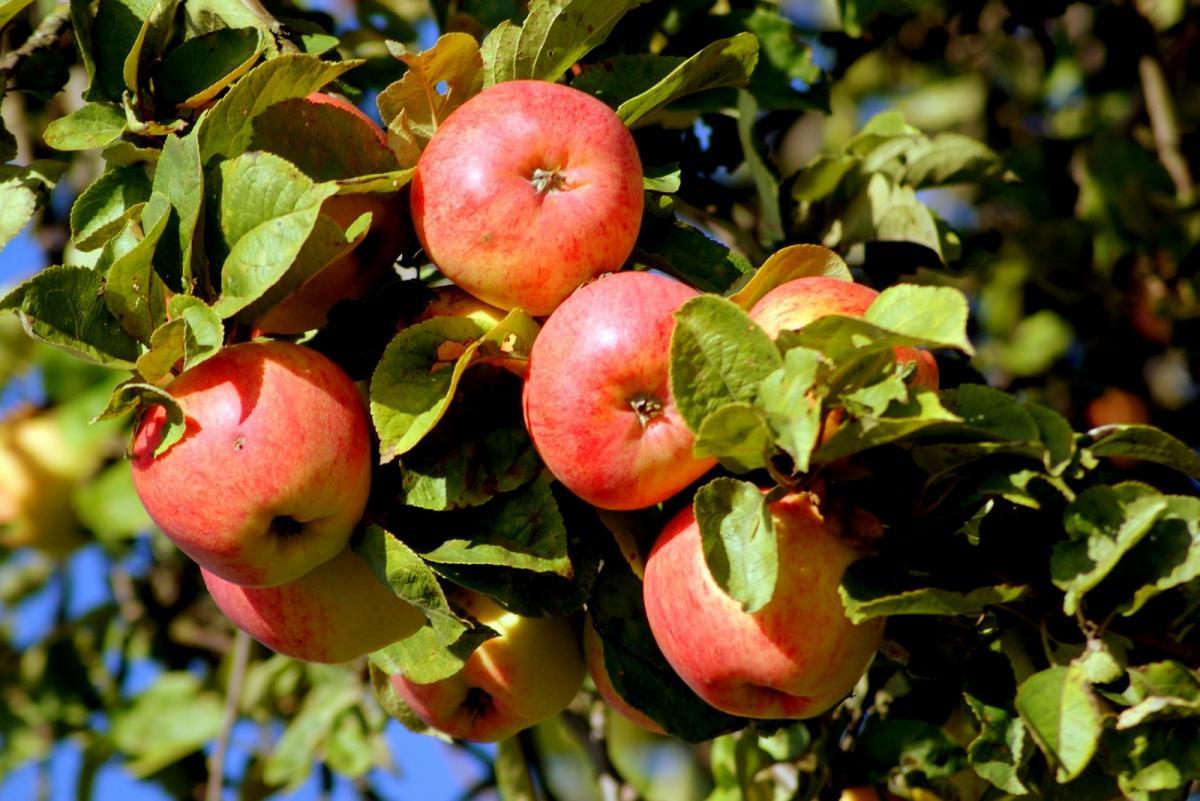 Весенняя прививка яблони: рекомендации начинающим