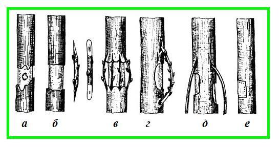 Различные виды прививки мостиком