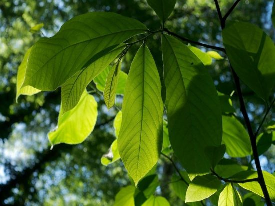 Листья азимины