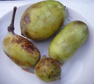 Упавшие плоды азимины
