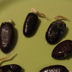 Пророщенные семена азимины