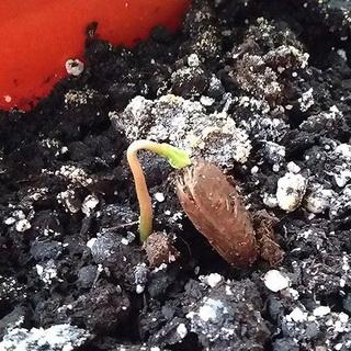 Проросшее семя в грунте