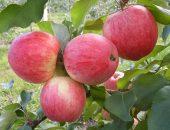 Сорт яблони Августа
