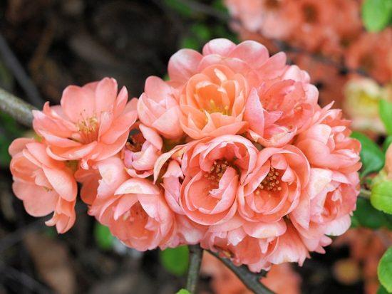 Махровые цветки хеномелеса