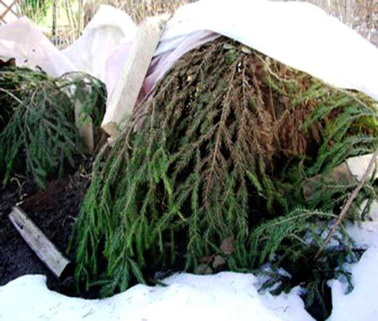Подготовка хеномелеса к зиме