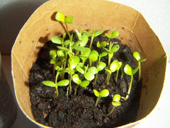 Всходы из семян хеномелеса