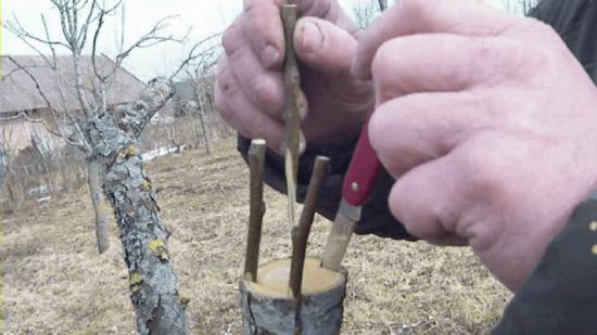 Прививка черенков хеномелеса на ствол дерева