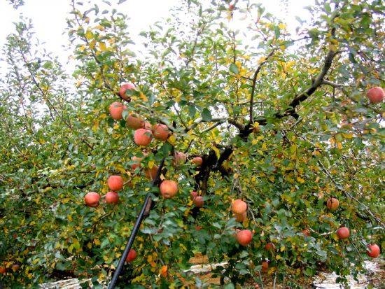 Дерево сорта Мечта с яблоками