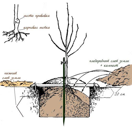 Схема посадки дерева