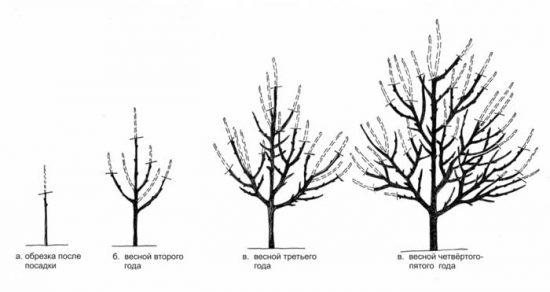 Схема формирования кроны абрикосового дерева