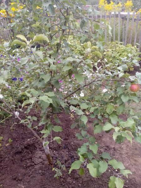 Неправильное формирование колоновидной яблони