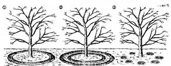 Схема расположения канавок для полива абрикоса