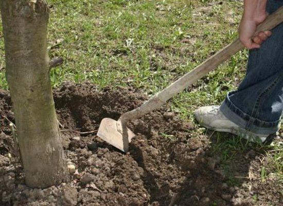 Перекапывание почвы под деревом