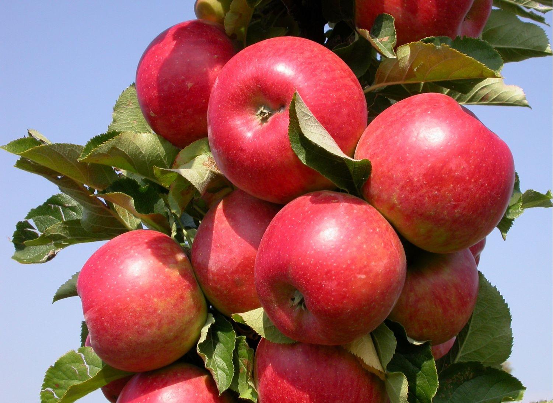 Колонновидная яблоня сорта Останкино — украшение вашего сада