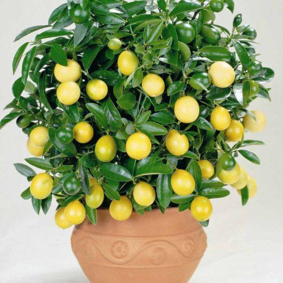 Плодоношение лимона в домашних условиях