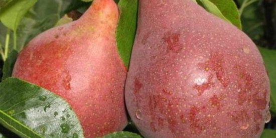 Плоды груши Брянская красавица