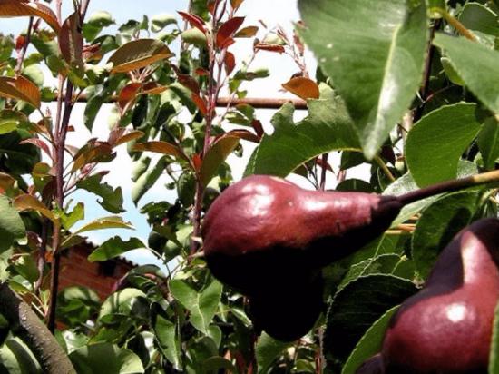 Красноватые верхушечные листья груши Брянская красавица
