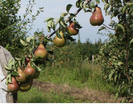 Плодоношение груши