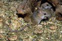 Мыши-полёвки