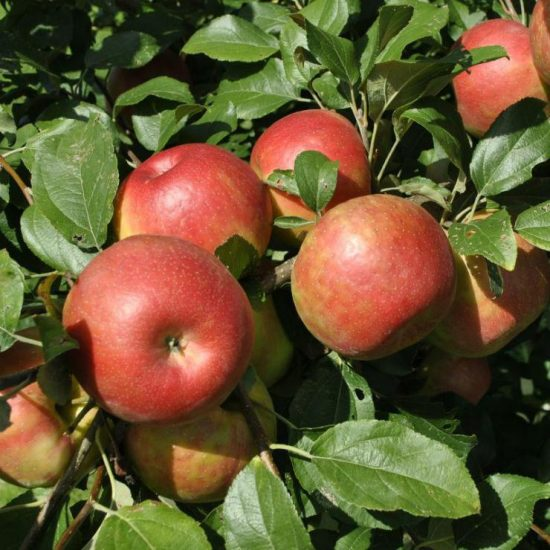 яблоки сорта Любава