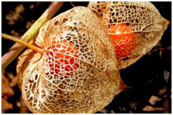Плод физалиса декоративного в сетчатой чашечке