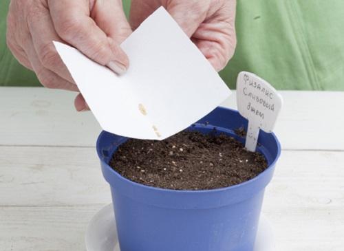 Посев семян физалиса