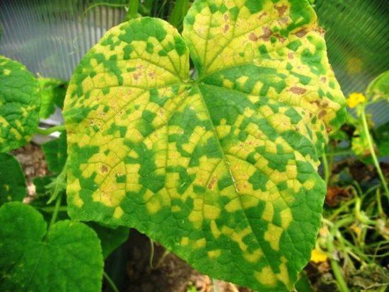 Мозаика листьев огурца