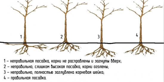 Положение корневой шейки при посадке