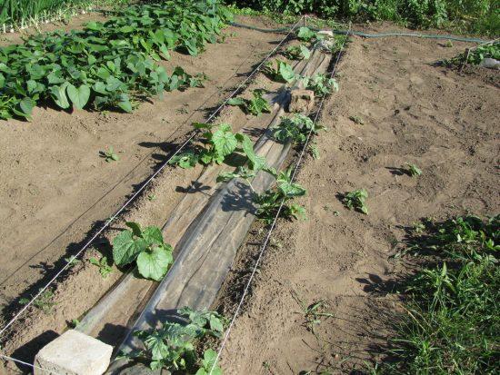 Подросшая рассада арбузов в открытом грунте