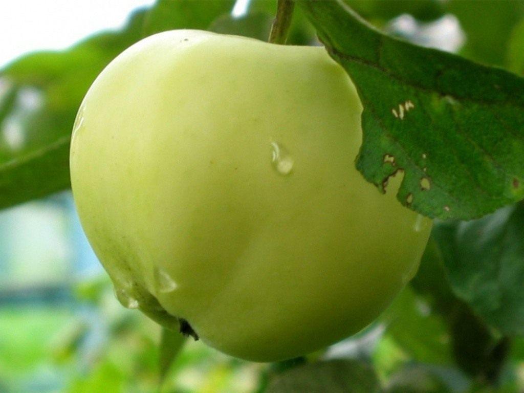 Колоновидная яблоня Медок: от посадки до сбора урожая