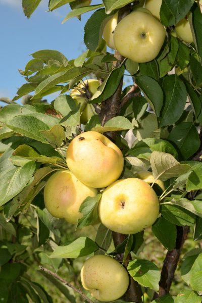 Сорт колоновидной яблони Медок