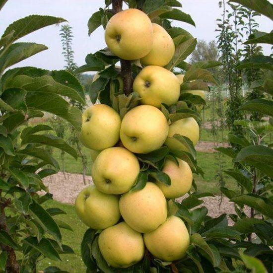Плоды яблони Медок