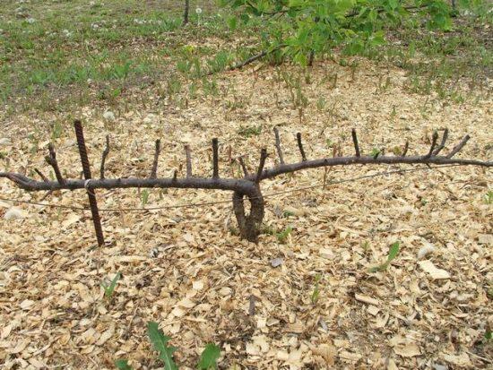 Выращивание яблони в стланцевой форме