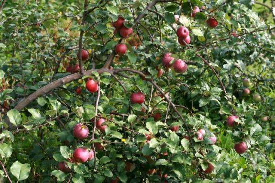 Яблоня Московское красное