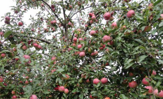 Яблоня Звёздочка