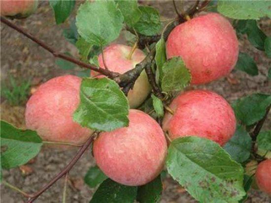 Яблоня Пепин Шафрановый