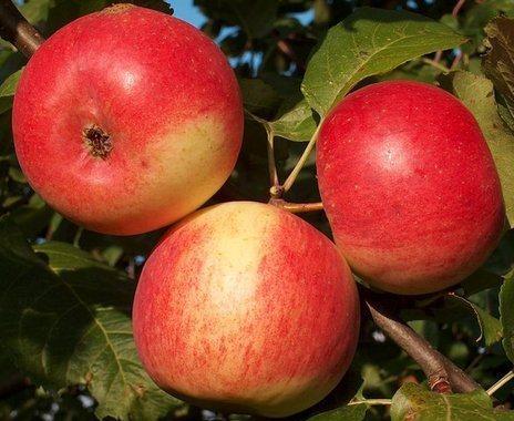 Яблоки сорта Память Мичурина