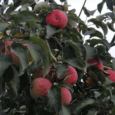 Яблоня Кибо